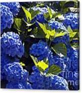 Mophead Hydrangeas Dry Brushed Canvas Print