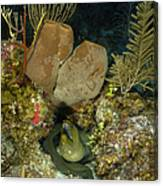 Moray Eel, Belize Canvas Print