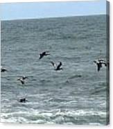 More Pelicans Canvas Print