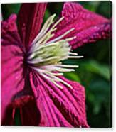 Morning Clematis Canvas Print