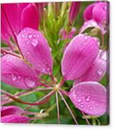 Morning Dew On Pink Cleome Canvas Print