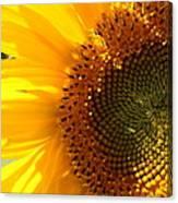 Morning Dew On Sunflower Canvas Print