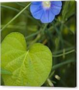 Morning Glory (ipomoea Hederacea) Canvas Print