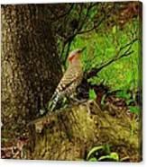 Morning Northern Flicker Canvas Print
