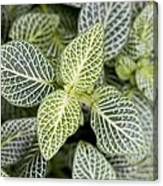 Mosaic Plant (fittonia Albivenis) Leaves Canvas Print