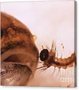 Mosquito Fish Preparing To Ingest Canvas Print