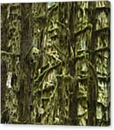 Moss Covered Trees, Hoh Rainforest Canvas Print