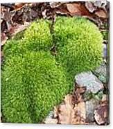 Moss On A Rock Canvas Print