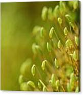 Moss With Capsules Canvas Print