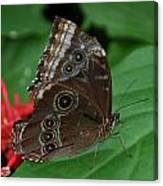Moth I 2403 Canvas Print