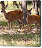 Mother And Yearling Deer Canvas Print