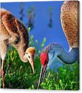 Mother And Young Sandhill Crane Canvas Print