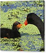 Mother Common Gallinule Feeding Baby Chick Canvas Print
