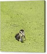Mottled Duckling Canvas Print