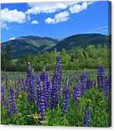 Mount Adams And Lupine Field Canvas Print