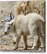 Mountain Goat Kid In Kootenay National Park Canvas Print