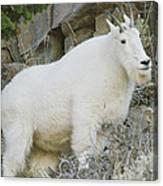 Mountain Goat Canvas Print