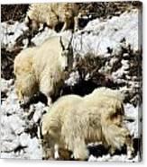 Mountain Goat Trio Canvas Print