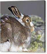 Mountain Hare Canvas Print