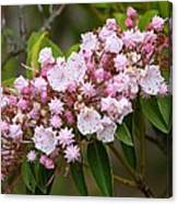 Mountain Laurel Blooming Canvas Print