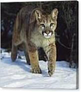 Mountain Lion Felis Concolor Idaho, Usa Canvas Print