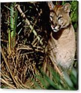 Mountain Lion Puma Concolor Portrait Canvas Print