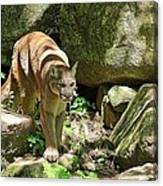 Mountain Lion Canvas Print