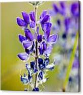 Mountain Lupine Glacier National Park Canvas Print