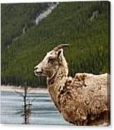 Mountain Sheep 1639 Canvas Print