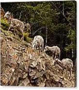 Mountain Sheep 1668 Canvas Print