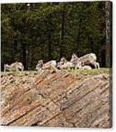 Mountain Sheep 1673 Canvas Print