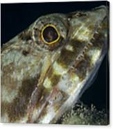 Mouth Of A Variegated Lizardfish, Papua Canvas Print