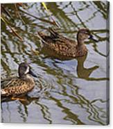 Mr And Mrs Blue Wing Teal Canvas Print