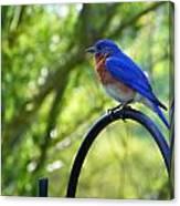 Mr Bluebird Canvas Print