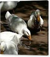 Muddy Ducks Canvas Print