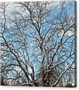 Mulberry Tree In Snow Canvas Print