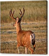 Mule Deer Buck In An Alberta Field Canvas Print