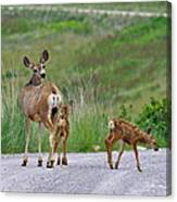 Mule Deer Doe And Twin Fawns Canvas Print