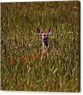 Mule Deer In Wheat Field, Saskatchewan Canvas Print