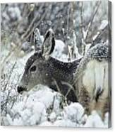 Mule Deer Odocoileus Hemionus In Snow Canvas Print