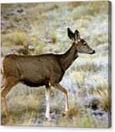 Mule Deer On The Move Canvas Print
