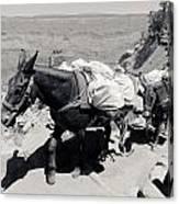 Mule Train Bw Canvas Print