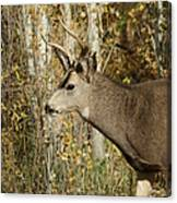 Mulie Buck 3 Canvas Print