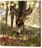 Mulie Buck 4 Canvas Print