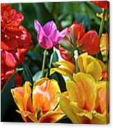 Multi-colored Tulips In Bloom Canvas Print