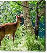 Muntjac Deer - Muntiacus Reevesi Canvas Print