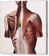 Muscles Of The Back Canvas Print