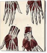 Muscles Of The Hand Canvas Print