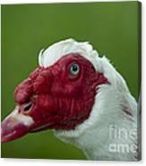 Muscovy Duck Canard Muscovy Canvas Print