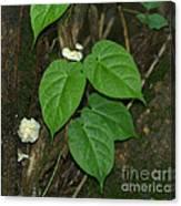 Mushroom Between The Leaves Canvas Print